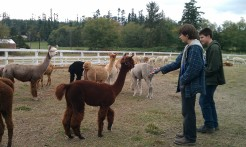 The alpaca are curious and friendly.