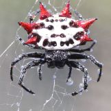 775px-Spiny_backed_orbweaver_spider