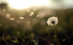 dandelion_wallpaper_1280x800