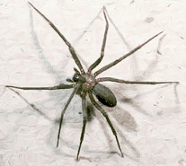 Dangerous Brown Recluse (Fiddleback) Spider