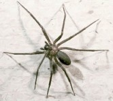 Dangerous Brown Recluse (Fiddleback) Spider