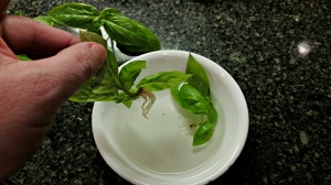 How to Keep Your Cut Basil Alive Longer - Aberrant Crochet